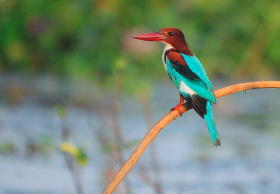 Kumarakom Birds Sanctuary kingfisher